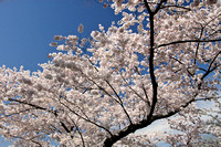 Cherry Blossoms, Washington, DC